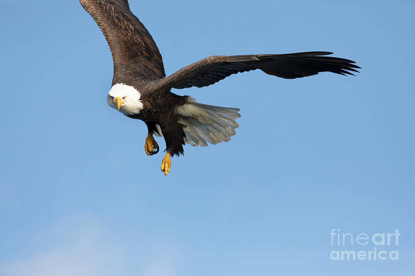Wall Art - Photograph - Bald Eagle In Flight by Louise Heusinkveld