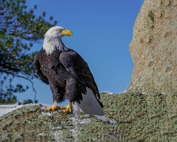 Photograph - Bald Eagle On Moss Rock by Dawn Key
