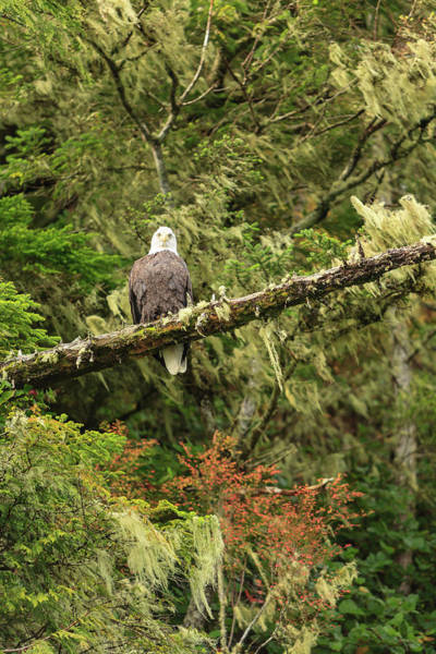 Wall Art - Photograph - Bald Eagle, Wilderness Scenery In Clam by Stuart Westmorland