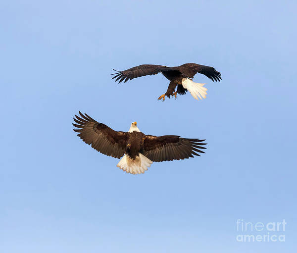 Wall Art - Photograph - Bald Eagles In Flight by Louise Heusinkveld