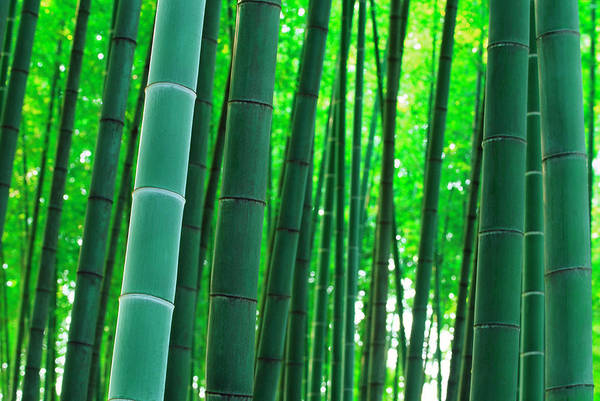 Wall Art - Photograph - Bamboo by Ooyoo