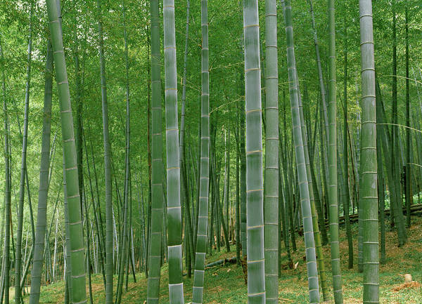 Wall Art - Photograph - Bamboo Trees In A Forest, Fukuoka by Panoramic Images