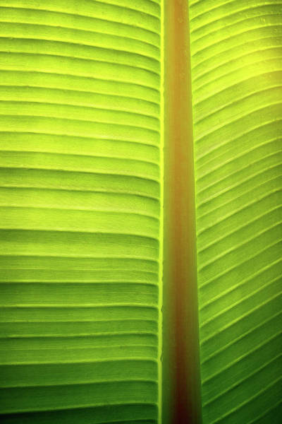 Wall Art - Photograph - Banana Tree Leaf Pattern by Carlos Caetano