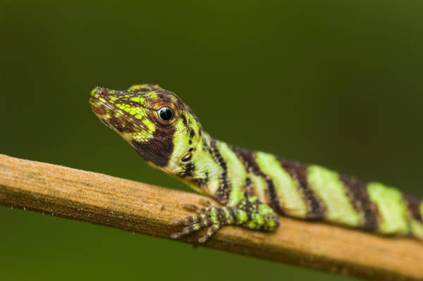 Wall Art - Photograph - Banded Tree Anole Anolis Transversalis by Michael Lustbader