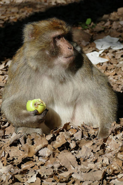 Wall Art - Photograph - Barbary Macaque By The Side Of The Highway by Steve Estvanik