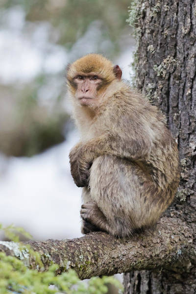 Wall Art - Photograph - Barbary Macaque Macaca Sylvanus Immature Sitting On A Lebanon Cedar S Branch F S-mekn S Morocco by imageBROKER - Saverio Gatto