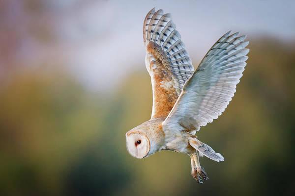 Barn Photograph - Barn Owl by Mallardg500