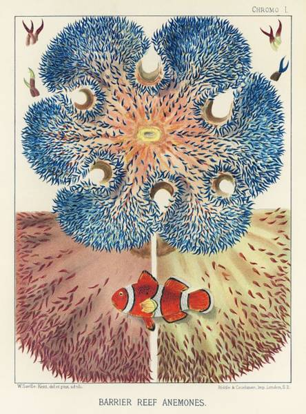 Wall Art - Painting - Barrier Reef Anemones From The Great Barrier Reef Of Australia 1893 By William Saville-kent 1845- by William Saville-Kent