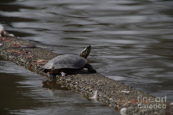 Wall Art - Photograph - Basking Turtle by Jeff Swan