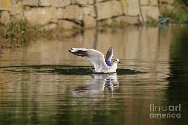 Chroicocephalus Ridibundus Photograph - Bath Time At The Creek by Terri Waters