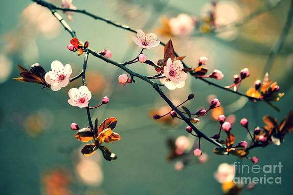 Wall Art - Photograph - Beautiful Flowering Japanese Cherry - by Montypeter