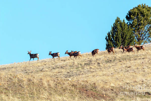 Photograph - Beautiful Herd Of Mule Deer by Steve Krull