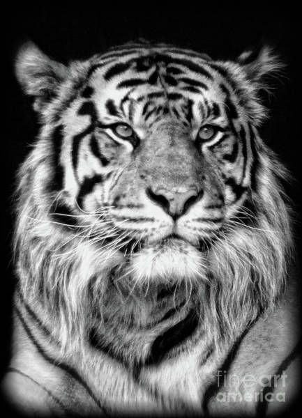 Photograph - Bengal Tiger  by Doc Braham