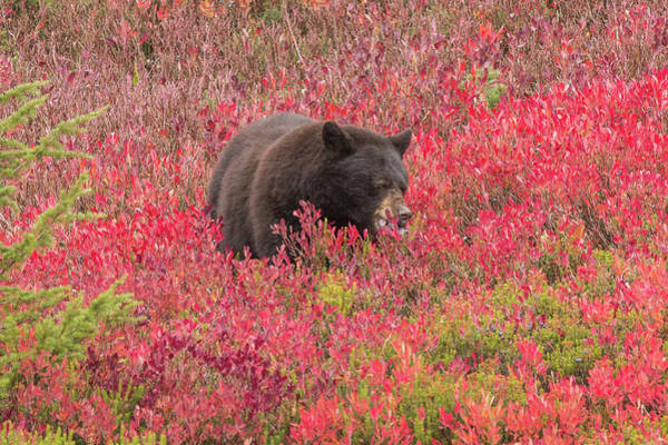 Photograph - Berries For The Bear by E Faithe Lester