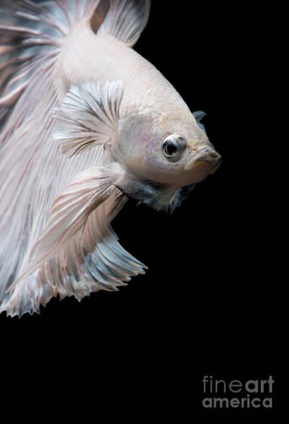 Wall Art - Photograph - Betta Fish,siamese Fighting Fish In by Nuamfolio
