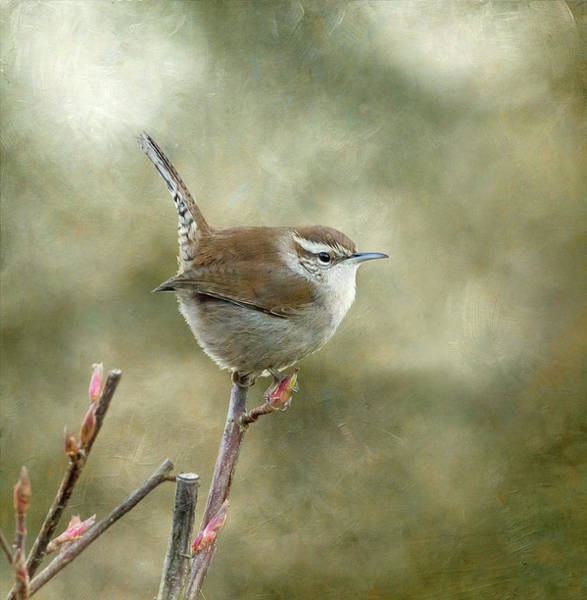 Wall Art - Photograph - Bewick's Wren by Angie Vogel