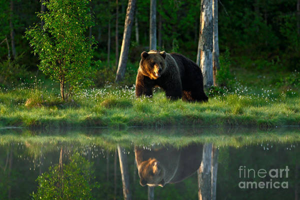 Wall Art - Photograph - Big Brown Bear Walking Around Lake In by Ondrej Prosicky