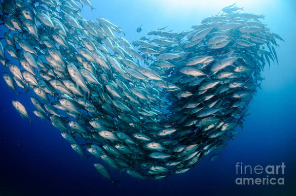 Wall Art - Photograph - Big Eye Trevally Jack, Caranx by Leonardo Gonzalez