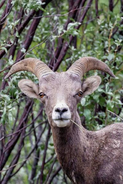Photograph - Big Horn Sheep by Paul Schultz