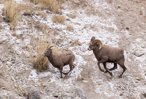 Photograph - Bighorn Ewe And Ram by Michael Chatt
