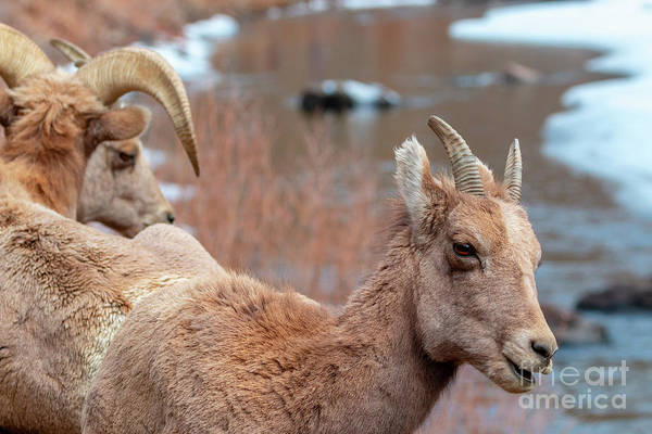 Photograph - Bighorn Sheep Along The Platte River by Steve Krull