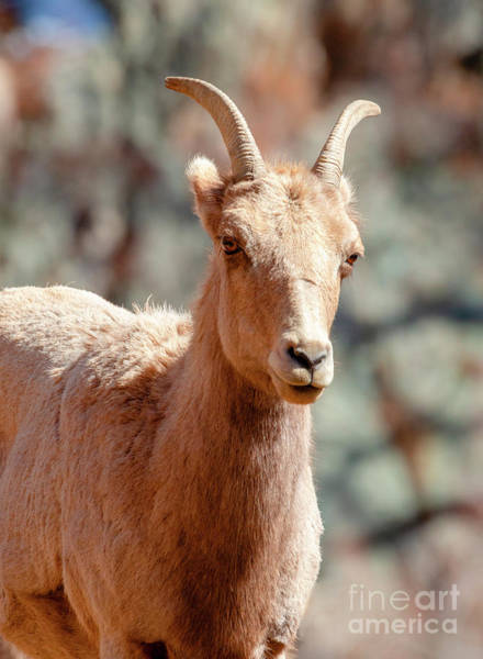 Photograph - Bighorn Sheep Portrait by Steve Krull