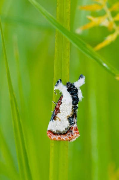 Wall Art - Photograph - Bird-dropping Moth by Michael Lustbader