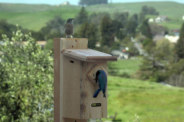 Bird House - Pair Of Western Bluebirds Art Print by Michael Riley