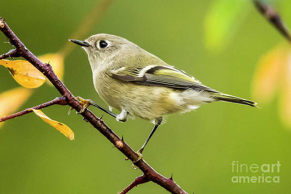 Photograph - Ruby Crowned Kinglet On Branch by Michael D Miller