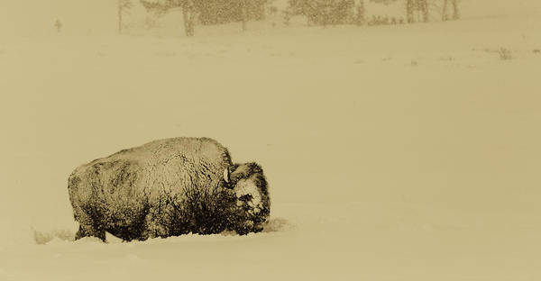 Wall Art - Photograph - Bison Covered With Snow In Yellowstone National Park by N P S Neal Herbert