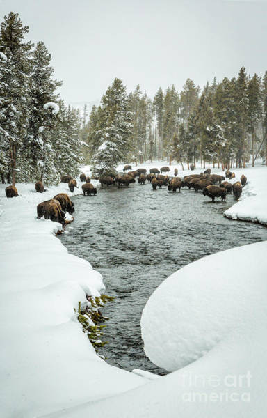 Wall Art - Photograph - Bison Herd In River by Timothy Hacker