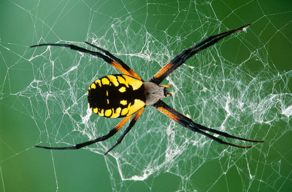 Photograph - Black-and-yellow Argiope Spider by Michael Lustbader