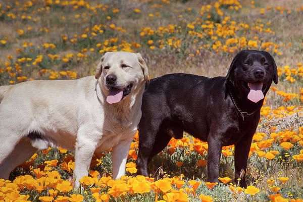 Wall Art - Photograph - Black And Yellow Labrador Retriever by Zandria Muench Beraldo