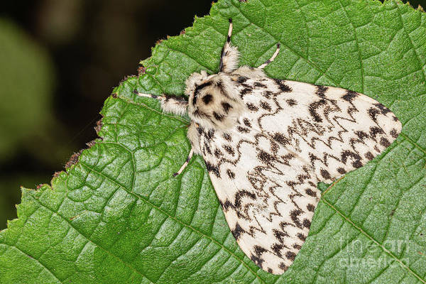 Photograph - Black Arches Moth by Brian Roscorla