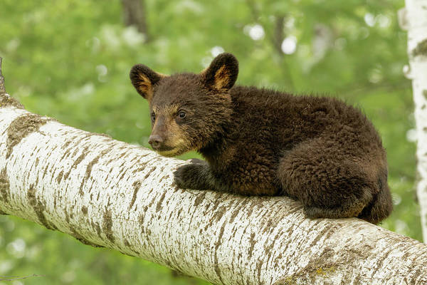 Wall Art - Photograph - Black Bear Cub In Tree, Ursus by Adam Jones