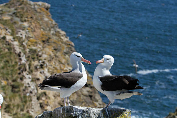 Islas Malvinas Wall Art - Photograph - Black-browed Albatross by Tom Norring