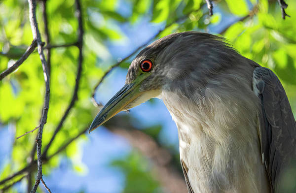 Photograph - Black Crowned Night Heron 2 by Rick Mosher