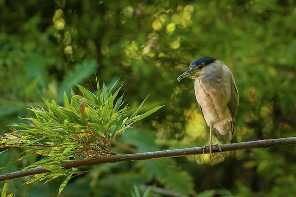 Branch Photograph - Black-crowned Night Heron, San by Cultura Rf/geoff Oddie