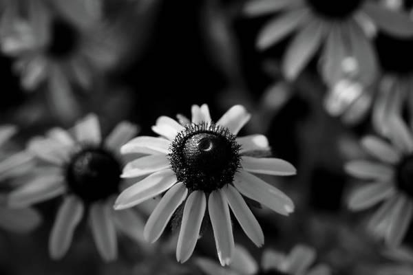 Photograph - Black-eyed Susan  by Jeff Phillippi