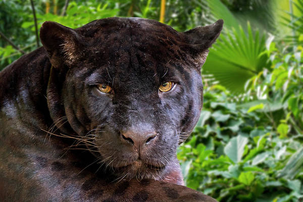 Photograph - Black Panther by Arterra Picture Library