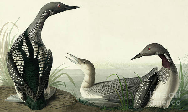 Wall Art - Painting - Black Throated Diver, Colymbus Arcticus By Audubon by John James Audubon