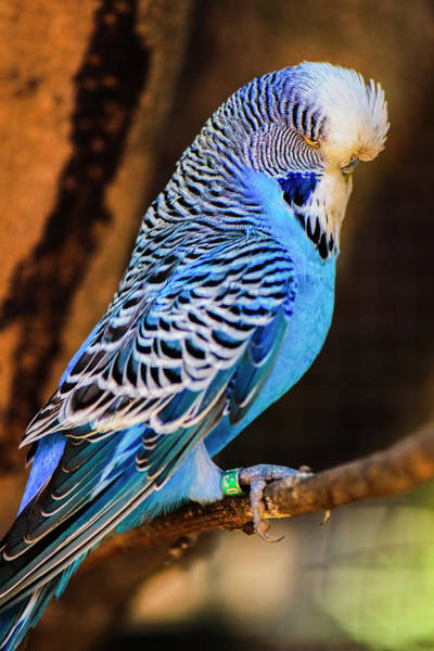 Photograph - Blue And White Budgie by Rob D Imagery