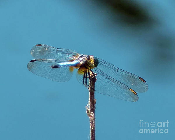 Wall Art - Photograph - Blue Dragonfly by Stephen Whalen