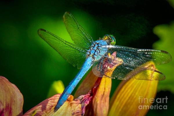 Photograph - Blue Dragonfly by Susan Rydberg