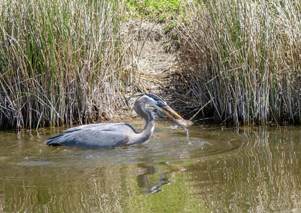 Photograph - Blue Heron by Michael Chatt