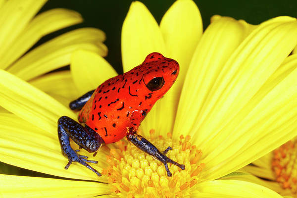 Wall Art - Photograph - Blue-jeans Or Strawberry Dart Frog by Adam Jones