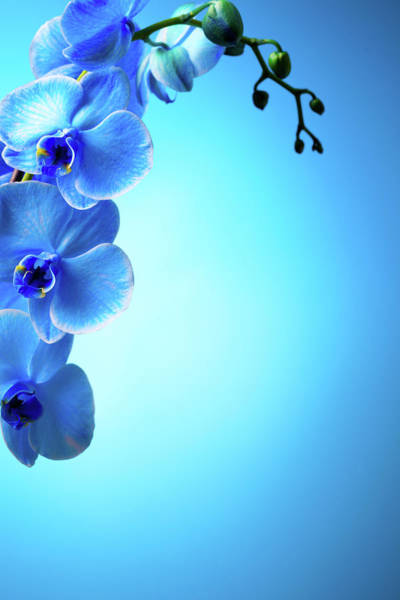 Caucasian Photograph - Blue Orchids by Neoblues