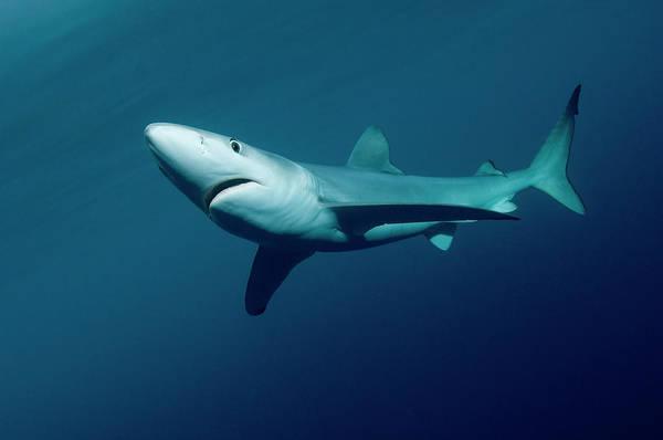Carnivora Photograph - Blue Shark Prionace Glauca, New Zealand by Tobias Bernhard