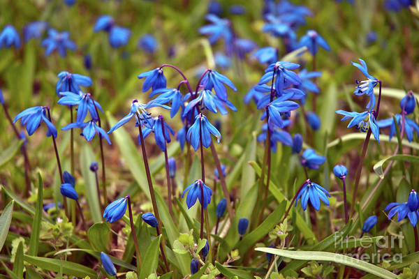 Photograph - Blue Sound Of Spring by Silva Wischeropp
