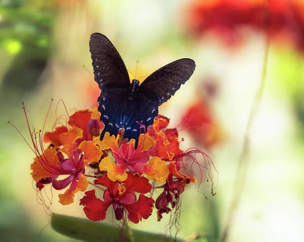 Wall Art - Photograph - Blue Swallowtail  by Saija Lehtonen